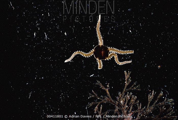 Common Brittlestar (Ophiothrix fragilis), Wales  -  Adrian Davies/ npl