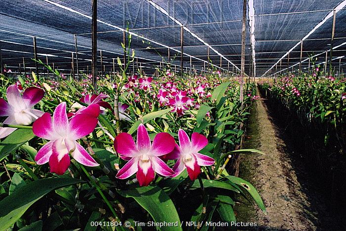 Orchid Dendrobium Sp In Cut Flower Nursery Bangkok Thailand Tim
