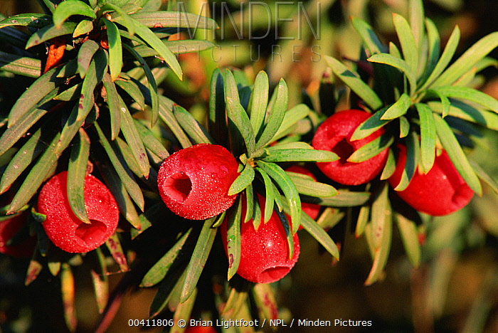Common Yew (Taxus baccata) berries, Scotland  -  Brian Lightfoot/ npl