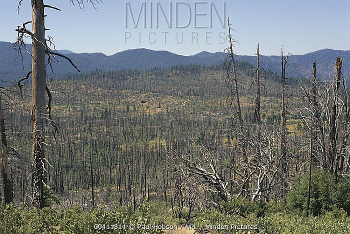 Coniferous forest after fire, Yosemite National Park, California  -  Paul Hobson/ npl