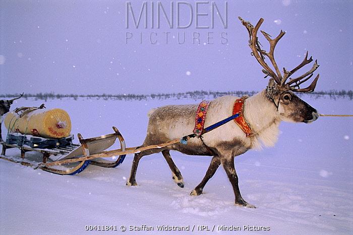 Caribou (Rangifer tarandus) pulling sledge, Saami Easter Festival, Kautokeino, Norway  -  Staffan Widstrand/ npl