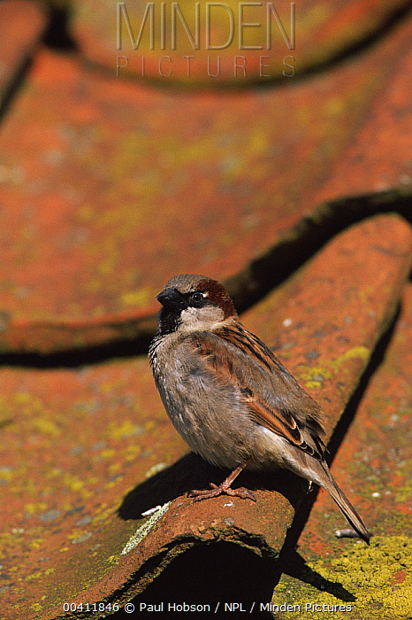 House Sparrow (Passer domesticus) on roof, Norfolk, England  -  Paul Hobson/ npl