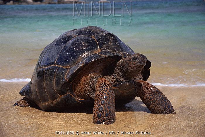 Aldabra Giant Tortoise (Aldabrachelys gigantea) on shore after swimming, Aldabra, Seychelles  -  Adam White/ npl