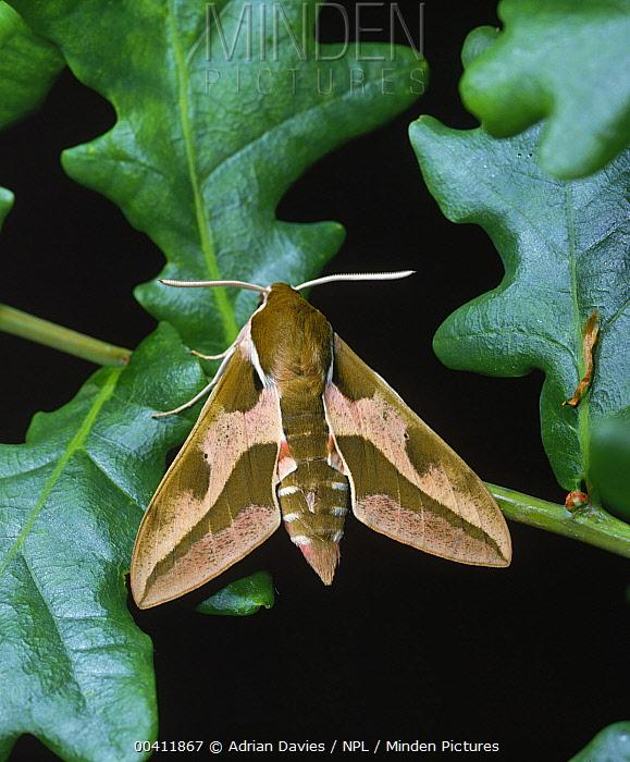 Leafy Spurge Hawk Moth (Hyles euphorbiae), England  -  Adrian Davies/ npl
