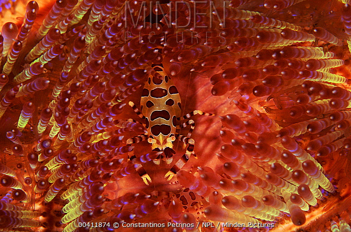 Coleman's Shrimp (Periclimenes colemani) living among the spines of a Fire Urchin (Asthenosoma varium), Sulawesi, Indonesia  -  Constantinos Petrinos/ npl