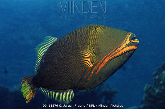 Orange-striped Triggerfish (Balistapus undulatus,) Indo-pacific  -  Jurgen Freund/ npl