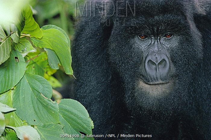 Mountain Gorilla (Gorilla gorilla beringei) head portrait, Virunga National Park, Democratic Republic of the Congo  -  Jabruson/ npl