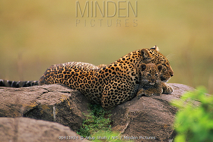 Leopard (Panthera pardus) resting on rock with cubs, Masai Mara Game Reserve, Kenya  -  Anup Shah/ npl