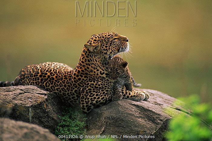 Leopard (Panthera pardus) resting with cub, Masai Mara Game Reserve, Kenya  -  Anup Shah/ npl