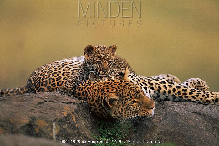 Leopard (Panthera pardus) cub climbing on resting mother, Masai Mara Game Reserve, Kenya  -  Anup Shah/ npl