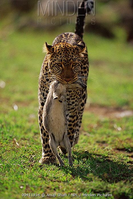 Leopard (Panthera pardus) carrying prey, Masai Mara Game Reserve, Kenya  -  Anup Shah/ npl