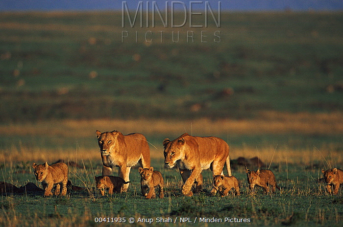 African Lion (Panthera leo) two females withs cubs, Masai Mara Game Reserve, Kenya  -  Anup Shah/ npl