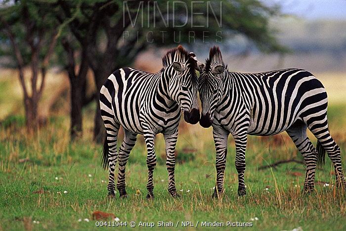 Burchell's Zebra (Equus burchellii) pair rubbing heads, Masai Mara Game Reserve, Kenya  -  Anup Shah/ npl