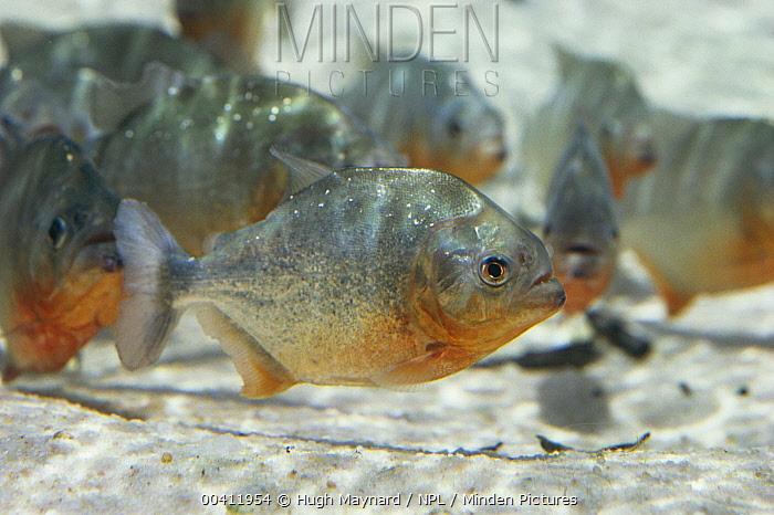 Piranha (Serrasalmidae) school in river Manaus, Brazil, South-America  -  Hugh Maynard/ npl