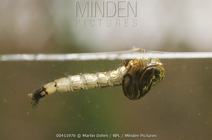 Mosquito (Culex pipiens) larva about to emerge from pupa at water surface UK  -  Martin Dohrn/ npl