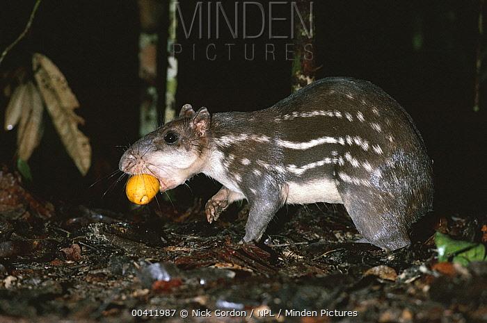 Paca (Agouti paca) eating fallen fruit, Amazon, Brazil  -  Nick Gordon/ npl