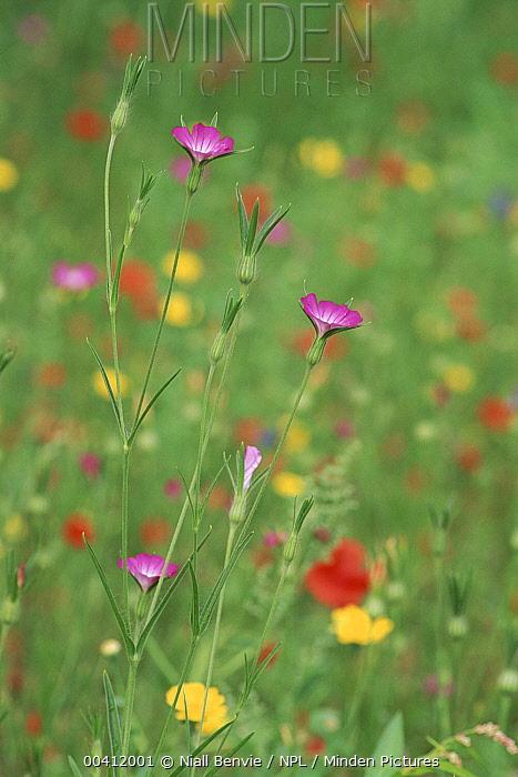 Corncockle (Agrostemma githago) and wildflowers, Leeuwarden, Netherlands  -  Niall Benvie/ npl