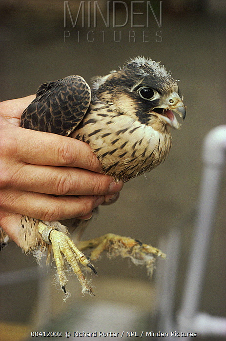 Peregrine Falcon (Falco peregrinus) illegally collected from the wild  -  Richard Porter/ npl