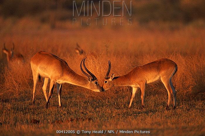 Lechwe (Kobus leche) males smelling each other, Moremi Wildlife Reserve, Botswana  -  Tony Heald/ npl