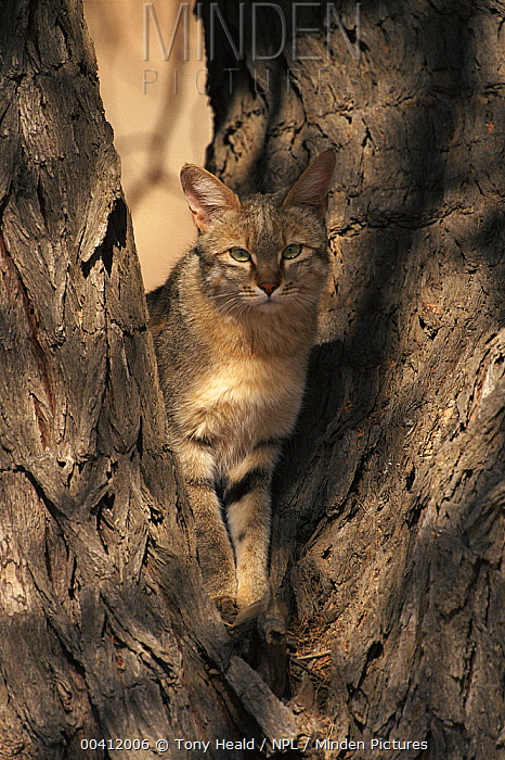 African Wild Cat (Felis lybica) in tree, Kgalagadi Transfrontier Park, South Africa  -  Tony Heald/ npl