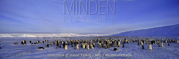 Emperor Penguin (Aptenodytes forsteri) colony, Dawson-Lambton Glacier, Weddell Sea, Antarctica  -  David Tipling/ npl