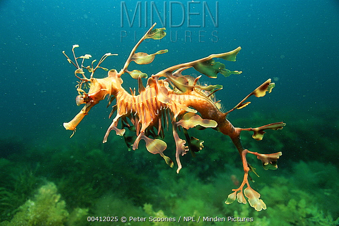 Leafy Sea Dragon (Phycodurus eques) male, Australia  -  Peter Scoones/ npl