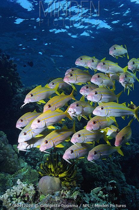 Flame Goatfish (Mulloidichthys vanicolensis) shoal, Great Barrier Reef, Australia  -  Georgette Douwma/ npl