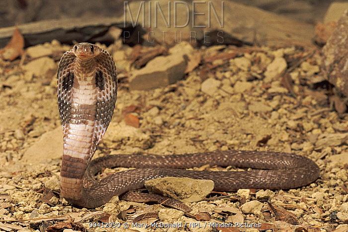 Sri Lankin Cobra (Naja naja polyocellata), South Africa  -  Mary Mcdonald/ npl