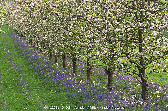 Apple (Malus communis) trees in bloom with Bluebells, England  -  Colin Varndell/ npl