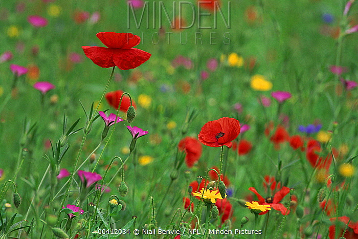 Wildflowers including Poppy and Corncockle (Agrostemma githago) cultivated for seed, Leeuwarden, Netherlands  -  Niall Benvie/ npl