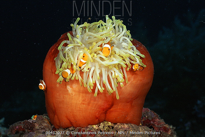 Magnificent Sea Anemone (Heteractis magnifica) with Clown Anemonefish (Amphiprion ocellaris), Sulawesi  -  Constantinos Petrinos/ npl