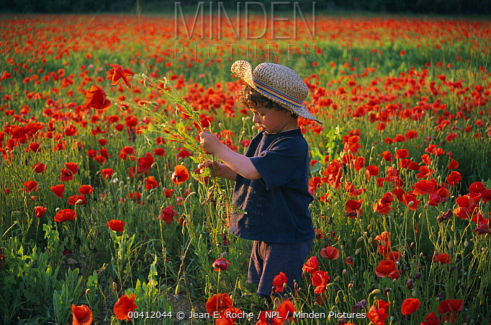 Child in field full of poppies, Languedoc, France  -  Jean E. Roche/ npl