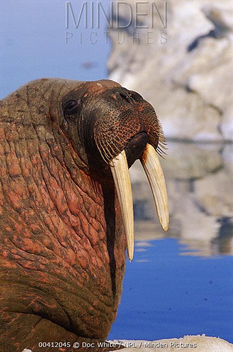 Atlantic Walrus (Odobenus rosmarus rosmarus) portrait, Baffin Island, Canada  -  Doc White/ npl