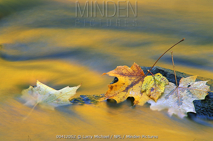 Autumn leaves and reflections in stream, North America  -  Larry Michael/ npl