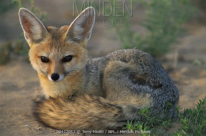 Cape Fox (Vulpes chama) cub , Kgalagadi Transfrontier National Park, South Africa  -  Tony Heald/ npl