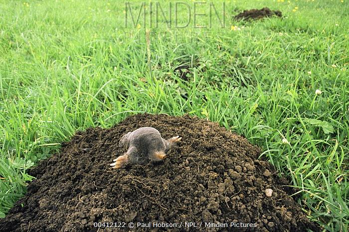 European Mole (Talpa europaea) emerging from hole, Yorkshire, United Kingdom  -  Paul Hobson/ npl