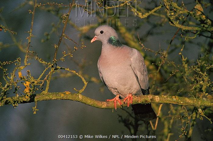 Stock Dove (Columba oenas) perched in tree Warwickshire, United Kingdom  -  Mike Wilkes/ npl