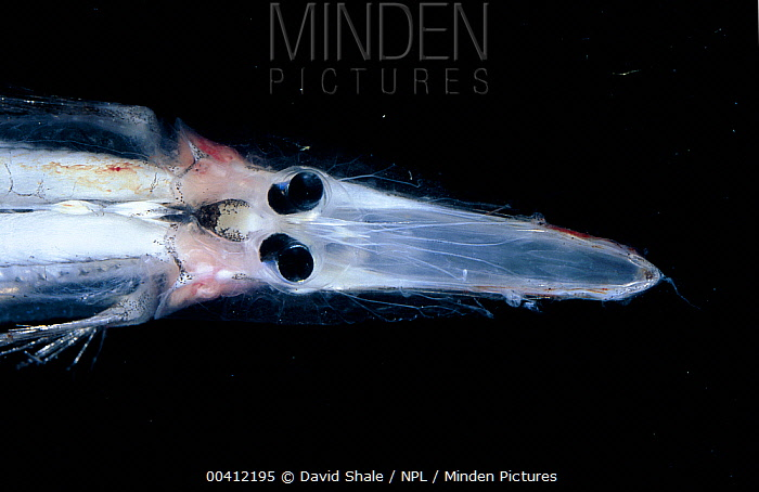 Minden pictures stock photos spookfish dolichopteryx sp for Twilight zone fish