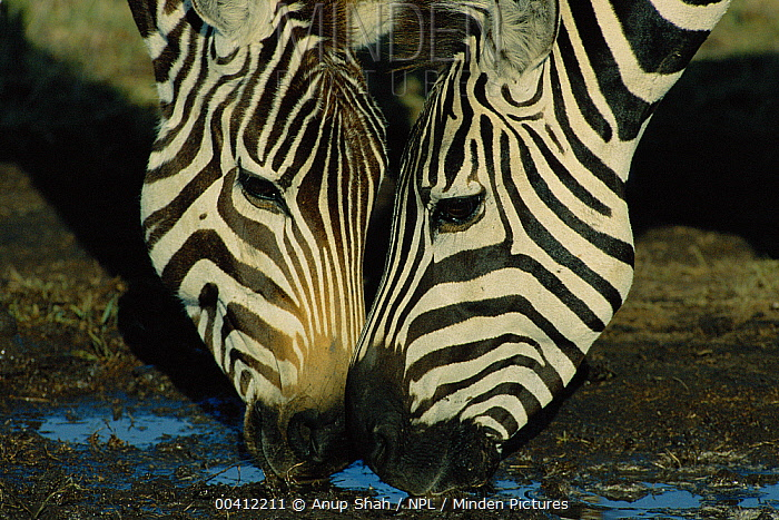 Burchell's Zebra (Equus burchellii) pair drinking, Masai Mara Reserve, Kenya  -  Anup Shah/ npl
