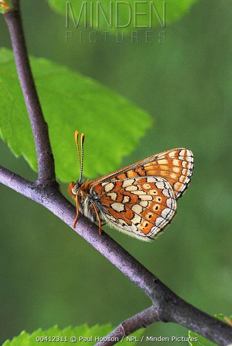 Marsh Fritillary (Euphydryas aurinia) butterfly wings closed, United Kingdom  -  Paul Hobson/ npl