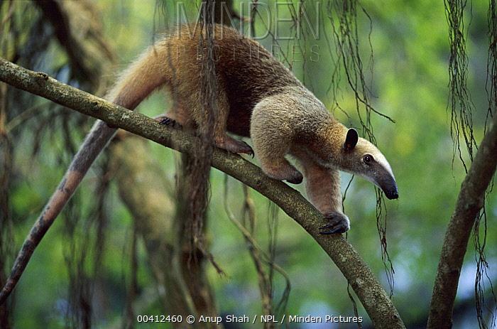 Southern Anteater (Tamandua tetradactyla) walking on branch, native to South America  -  Anup Shah/ npl