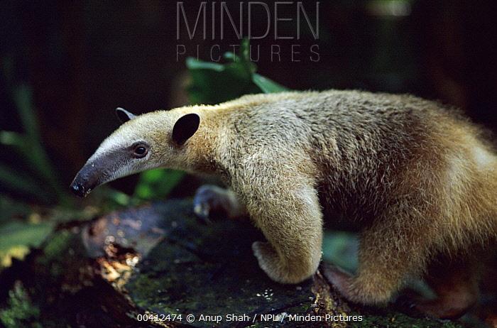 Southern Anteater (Tamandua tetradactyla) individual, native to South America  -  Anup Shah/ npl