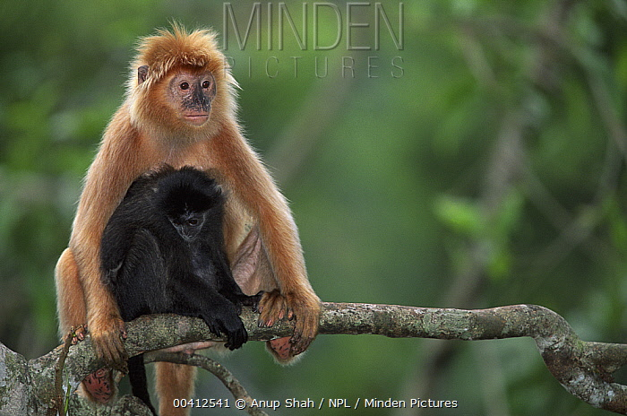 Ebony Leaf Monkey (Trachypithecus auratus) mother with young, native to Java, Indonesia  -  Anup Shah/ npl