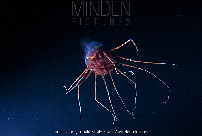 Jellyfish (Periphyllidae) in deep sea, Atlantic Ocean  -  David Shale/ npl