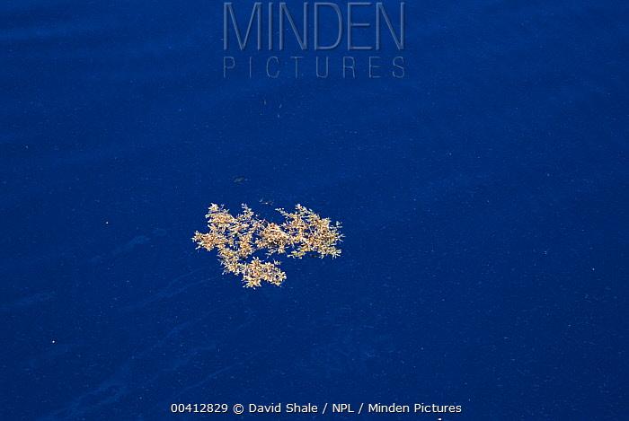 Sargassum Weed (Sargassum sp) floating in open ocean provides a home for many creatures, Atlantic Ocean  -  David Shale/ npl