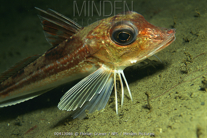Tub Gurnard (Chelidonichthys lucerna) showing pectoral fin with three feelers, Sognefjord, Norway  -  Florian Graner/ npl