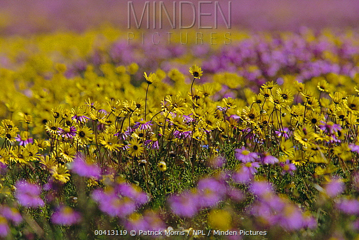 Daisies (Asteraceae) in bloom after rains, Nieuwoudtville, Namaqualand, South Africa  -  Patrick Morris/ npl