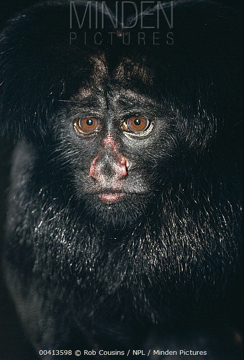 Black-bearded Saki (Chiropotes satanas) portrait, endangered, Brazil  -  Rob Cousins/ npl