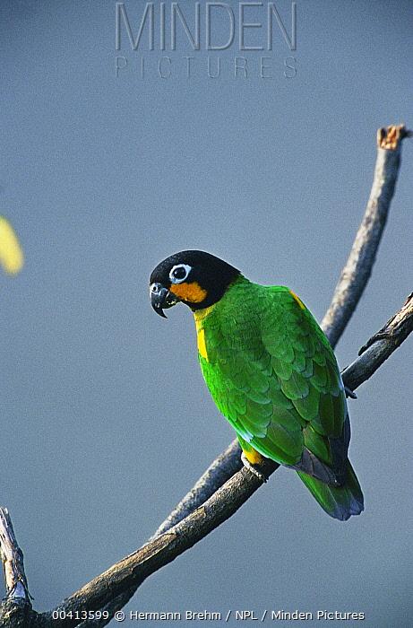 Orange-cheeked Parrot (Pionopsitta barrabandi) portrait, Tambopata Reserve, Peru  -  Hermann Brehm/ npl