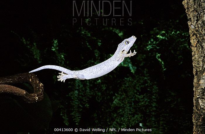 Gargoyle Gecko (Rhacodactylus auriculatus) leaping, native to New Caledonia  -  David Welling/ npl